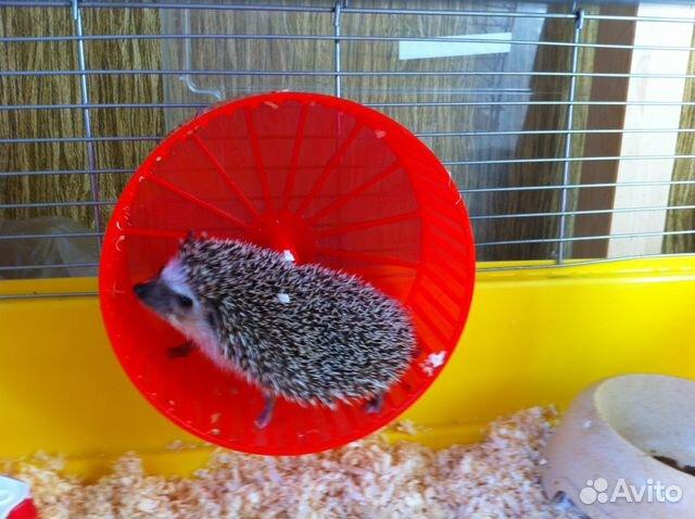 Еж - Животные - купить домашних и - Avito ru