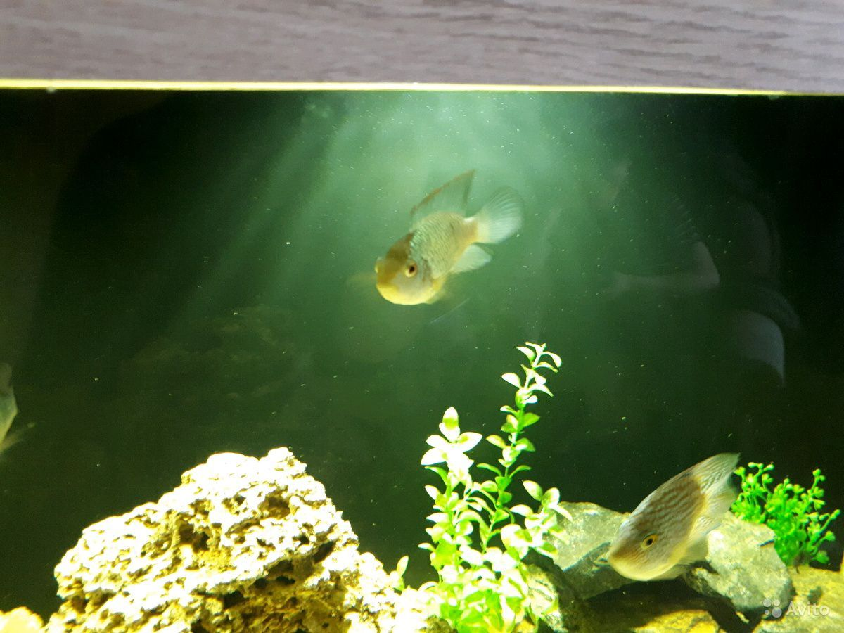 Рыба наннакара цихлиды