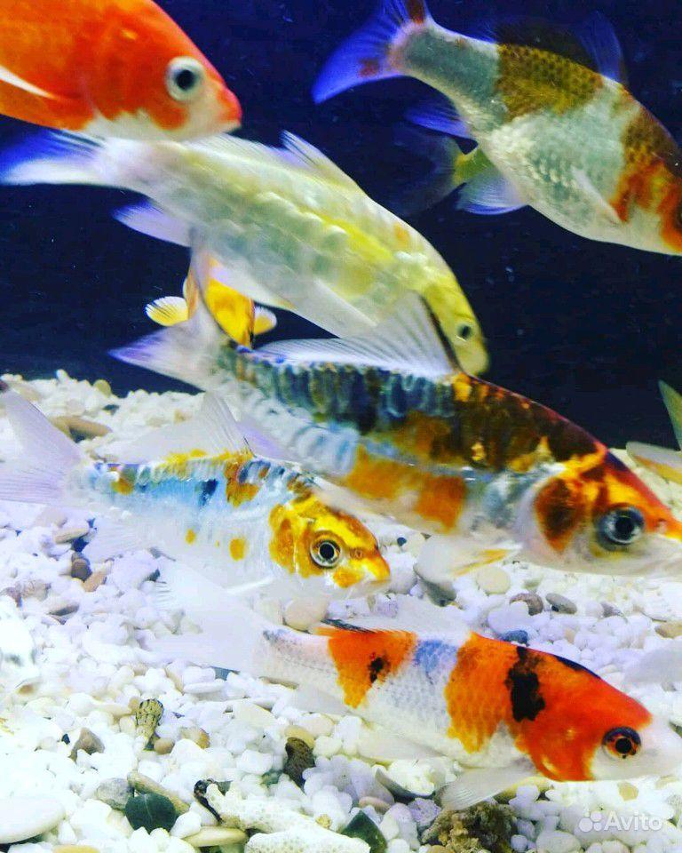 Рыба в пруд