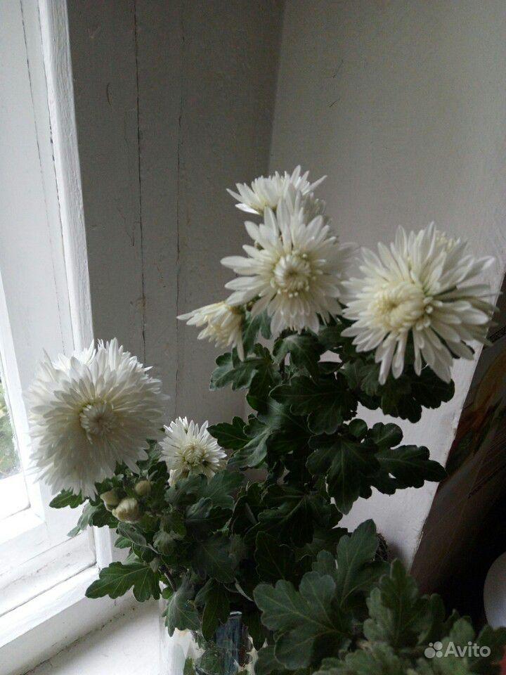 Хризантема белая и сиреневая, мята, шалфей и мн-е купить на Зозу.ру - фотография № 5