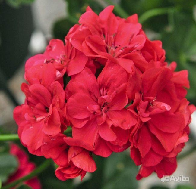 Цветы. Герань плющелистная, ампельная купить на Зозу.ру - фотография № 7