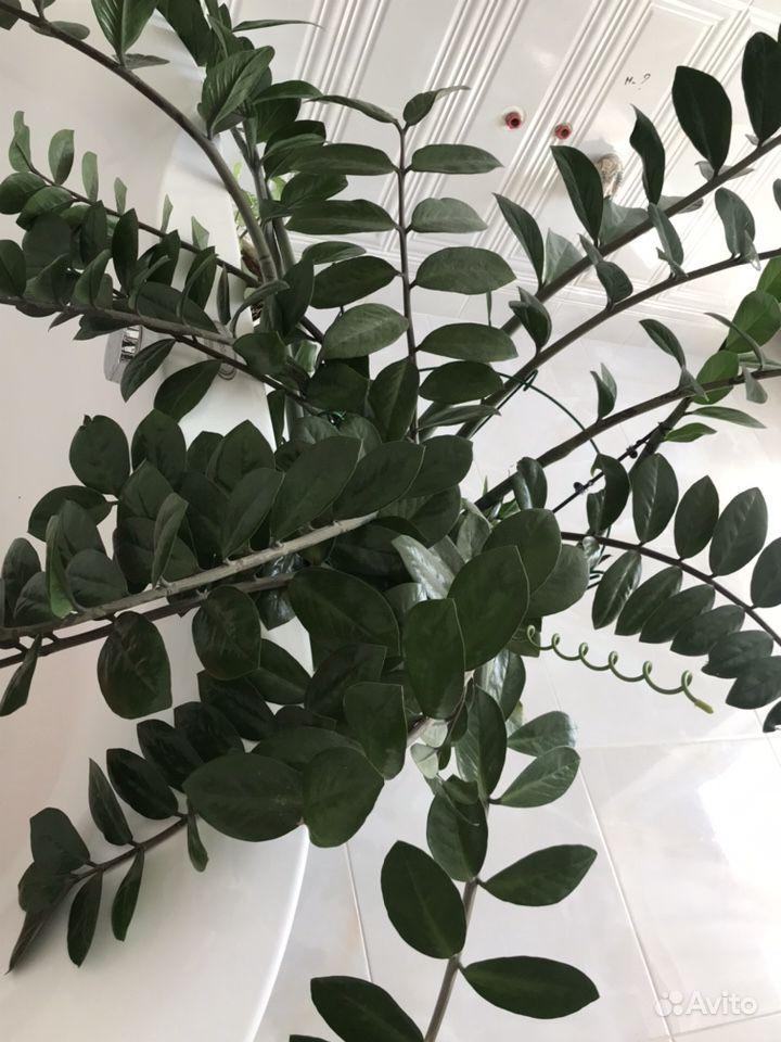 Сингониум, замиокулькас (долларовое дерево) купить на Зозу.ру - фотография № 3