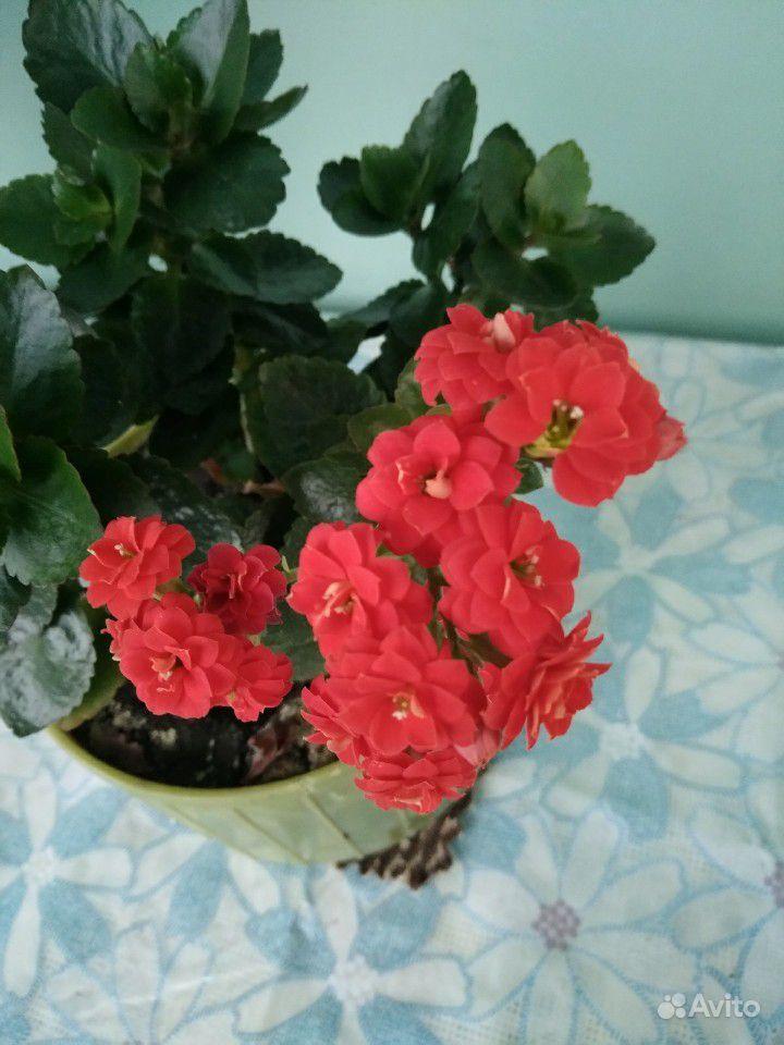 Каланхоэ цветущий купить на Зозу.ру - фотография № 1
