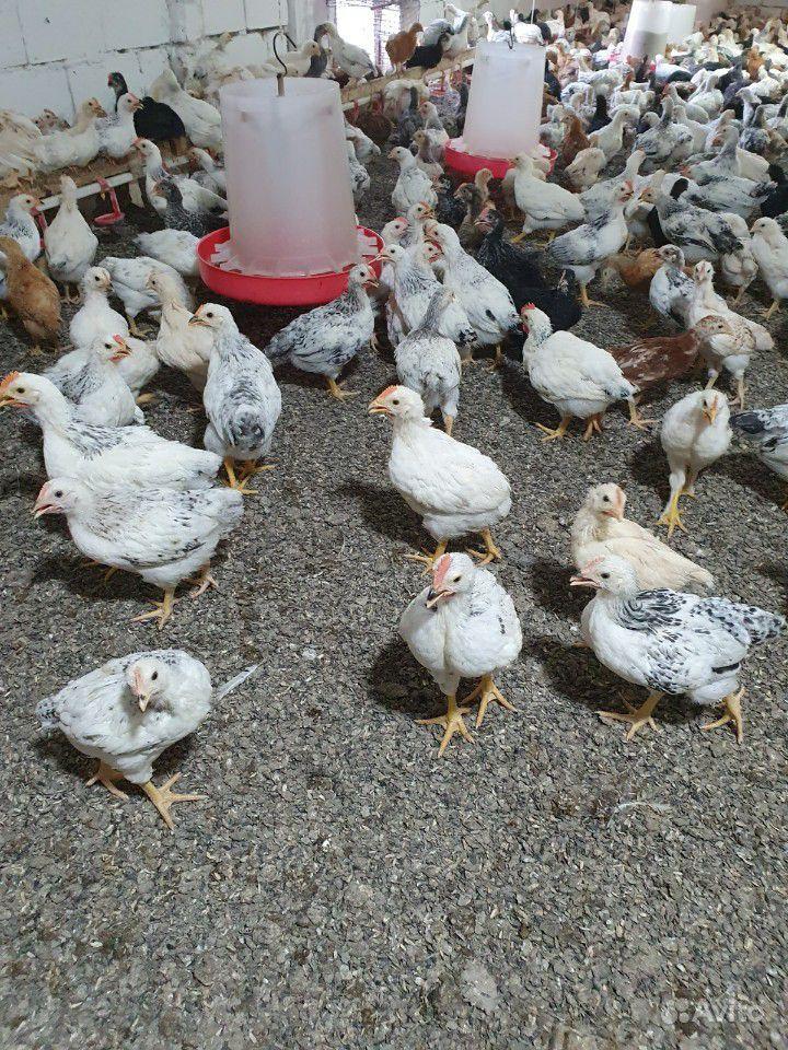 Цыплята купить на Зозу.ру - фотография № 2