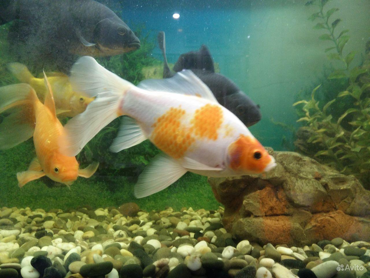 Коллекционные золотые рыбки купить на Зозу.ру - фотография № 6