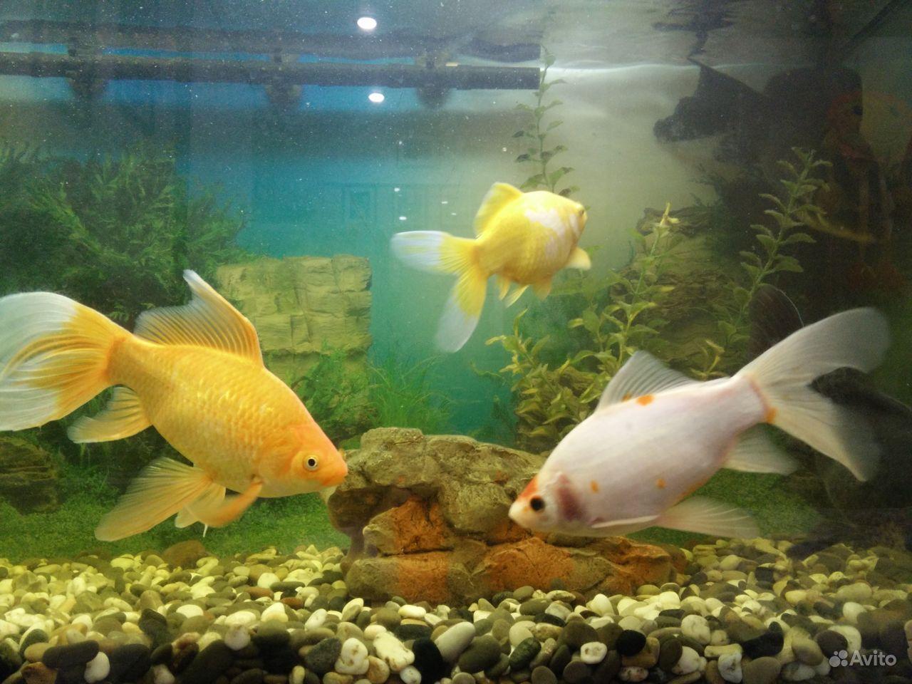 Коллекционные золотые рыбки купить на Зозу.ру - фотография № 7