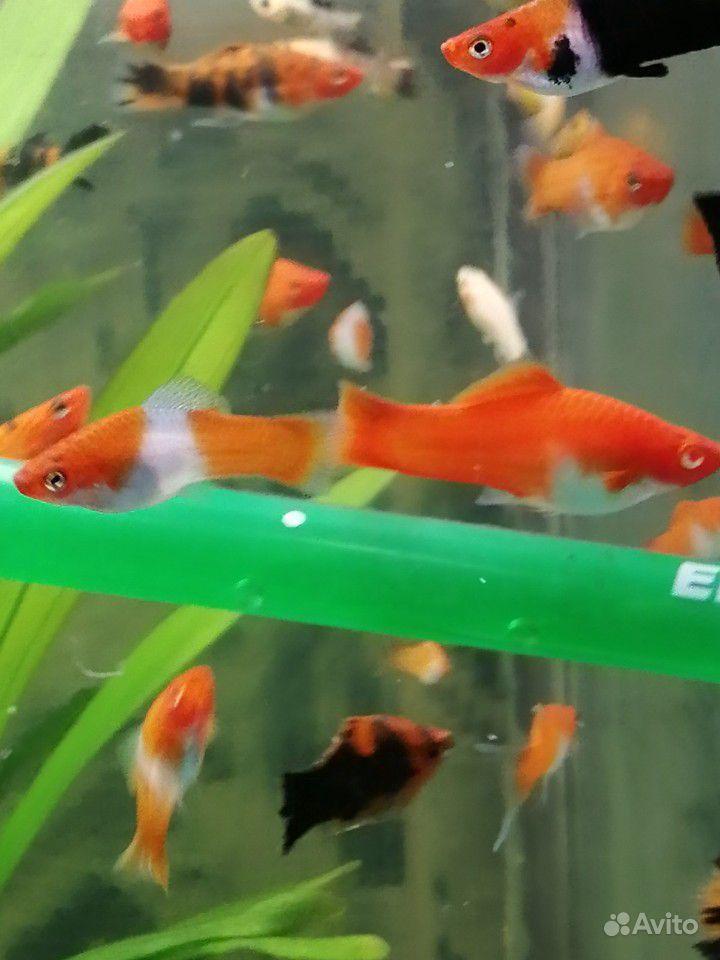 Меченосцы и молинезии аквариумные рыбки купить на Зозу.ру - фотография № 1