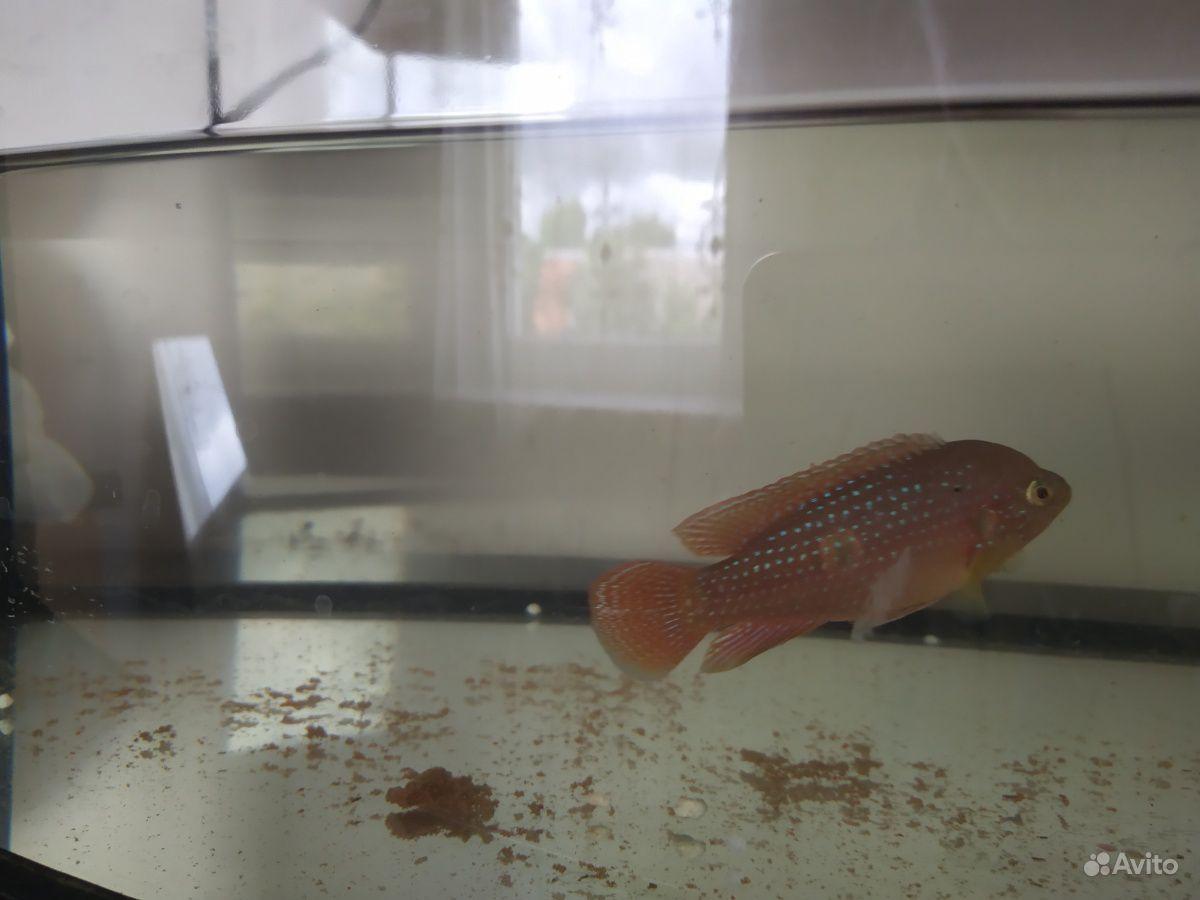 Рыбы цихлиды купить на Зозу.ру - фотография № 2
