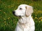 Золотистый ретривер щенки с отличной родословной