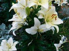Лилии цветущие