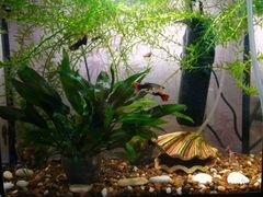 Улитки мелании, водоросли, мальки гуппи