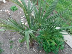 Пальма веерная