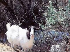Продам стадо коз с козлятами на выбор
