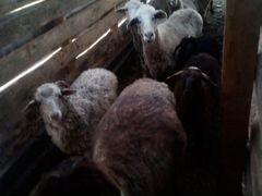 Баран овечка