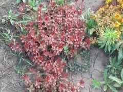 Саженцы почвопокровных растений