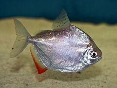 Рыбки метиннис серебряный
