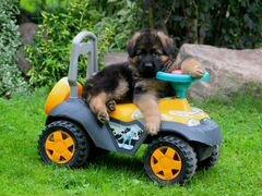 Продажа щенков немецкой овчарки