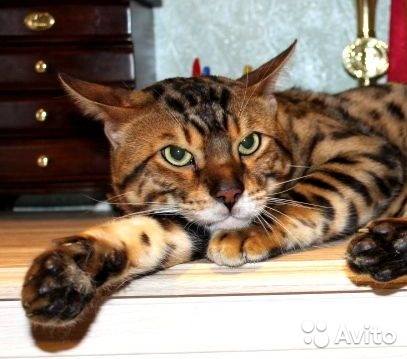 Adult bengal cat