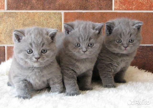 британские котята голубые фото