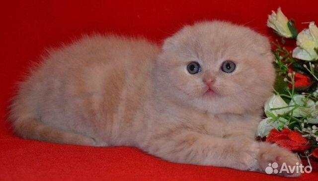 фото шотландских кремовых вислоухих котят