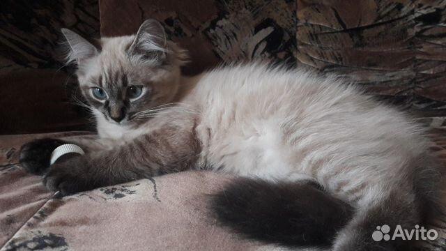 купить котят на авито спб невская маскарадная
