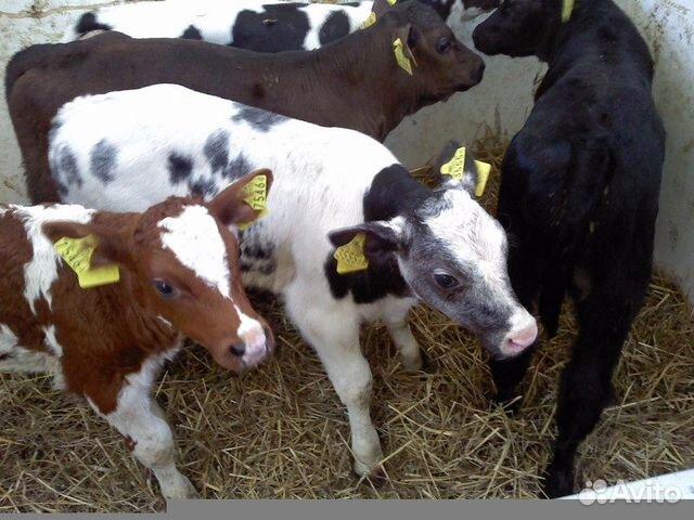 Купить бычков мясной породы в краснодарском крае
