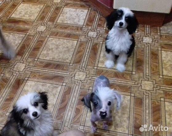 Объявления куплю щенка китайской хохлатой в смоленске куплю курсы разместить объявление