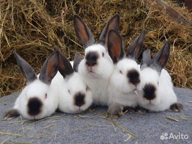 Кролик, Калифорнийская порода