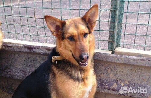 Овчаристый пёс Берти в добрые руки/ в дар купить на Зозу.ру - фотография № 6