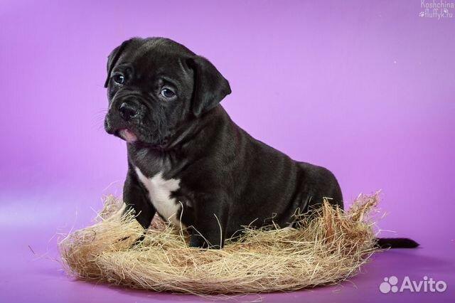 Американского Булли щенки купить на Зозу.ру - фотография № 2