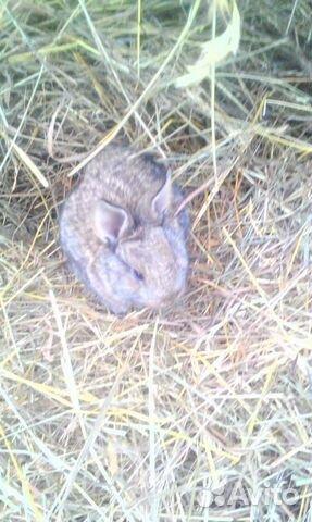 Продам месячных крольчат 89082951331 купить 4