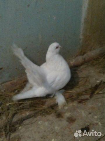 ишимские мастные голуби фото того, как