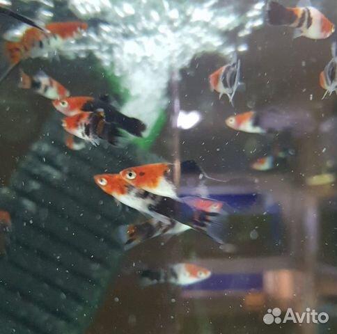 Поступление рыбы аквариумной  купить 3