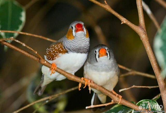 Амадины зебровые(экзотические птички) пара  89833534191 купить 2