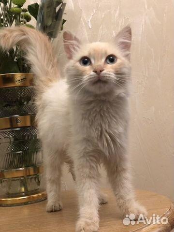 Кошка  89884680065 купить 2