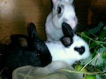 Кролики привитые