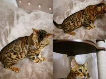 Бенгальский кот для вязок