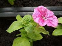 Кустовая крупноцветк.петуния крас., фиолет., белая