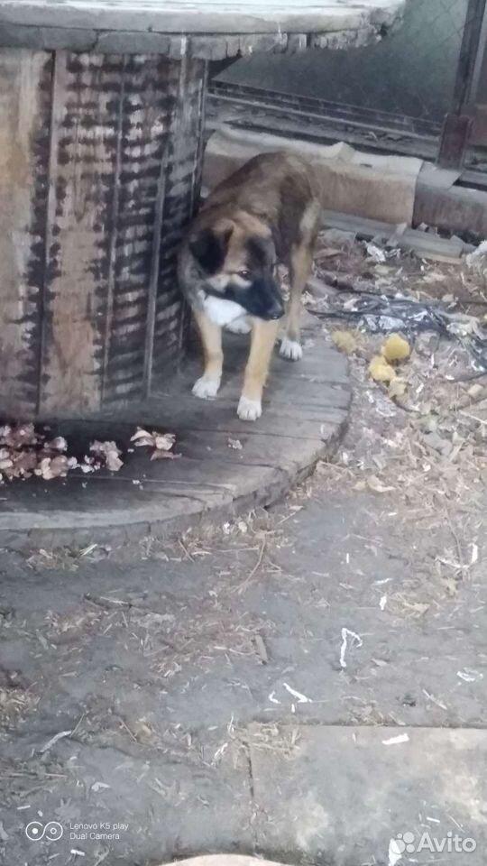 Собака  89088035504 купить 4