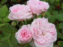 Садово парковые розы
