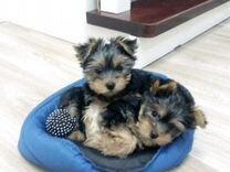 Йоркширские терьерчики — Собаки в Геленджике
