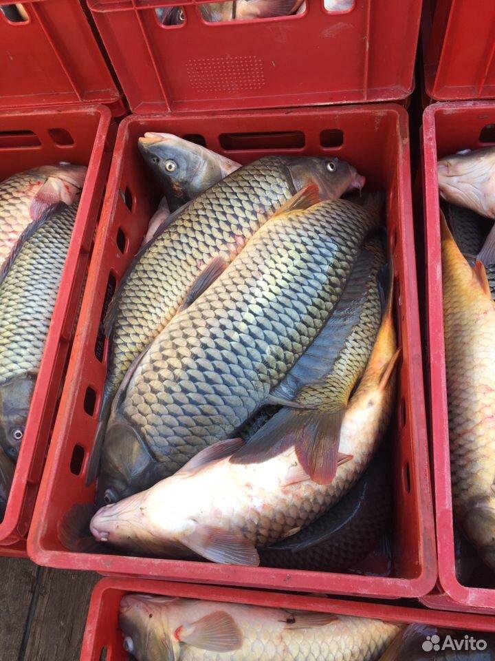 Рыба, Морской сазан  89398888010 купить 2