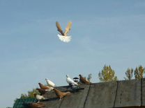 Николаевских Мелитопольских голубей
