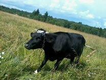 Продам корову,телок,овец