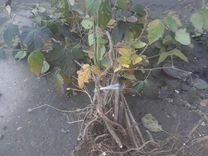 Ежевика — Растения в Великовечном