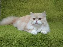 Кошечка шотландская