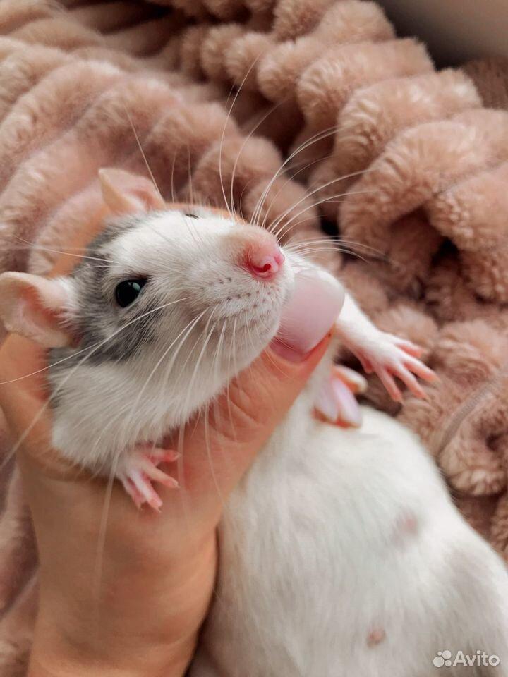 Крыса с клеткой  89870463844 купить 2