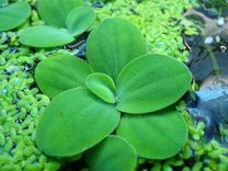 Водный гиацинт Водяные растения
