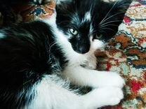 Отдам котят порода Ботлейл