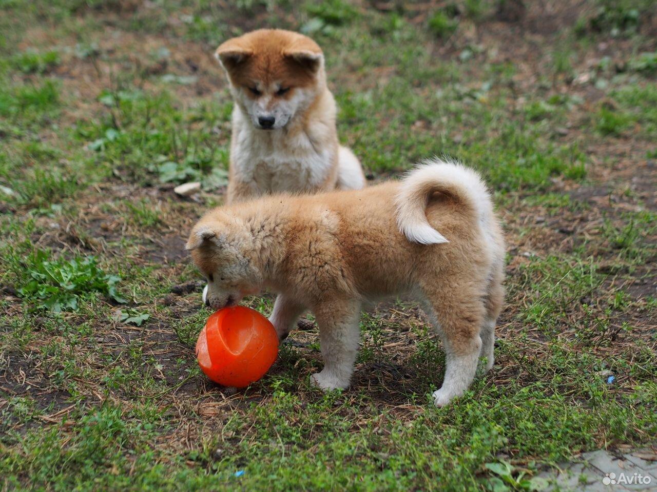 Акита ину щенки из питомника  89126335079 купить 3